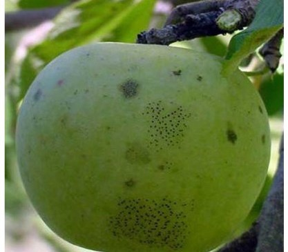 Summer diseases in pome fruit 1_blog_NC