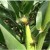 Japanese beetle on corn
