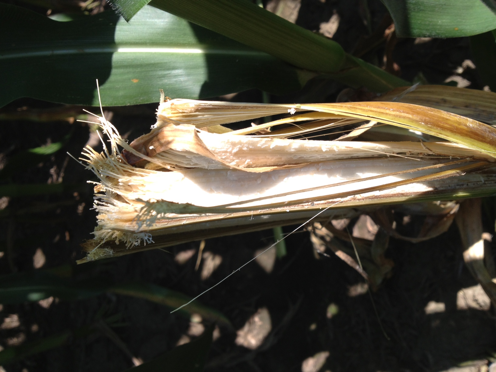 Bacterial stalk rot