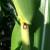 Purple leaf sheath on corn.