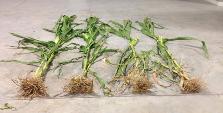 Crop solutions for corn
