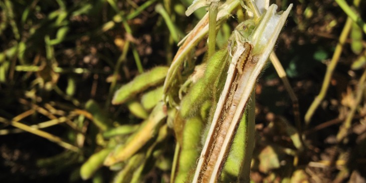 Soybean stem borer