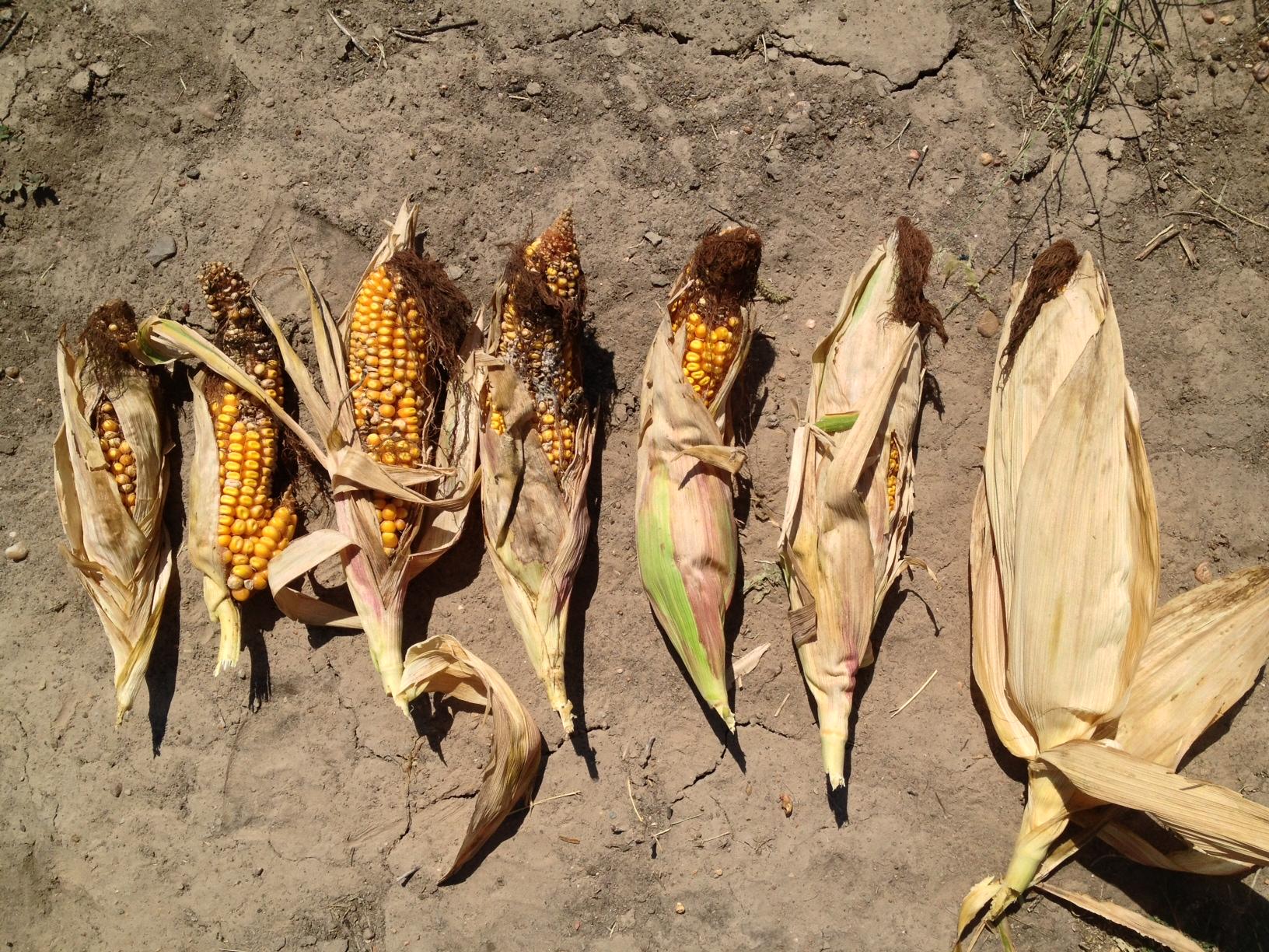 Stinkbug damage on corn