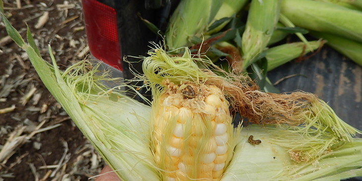 Sweet corn treated with Attribute