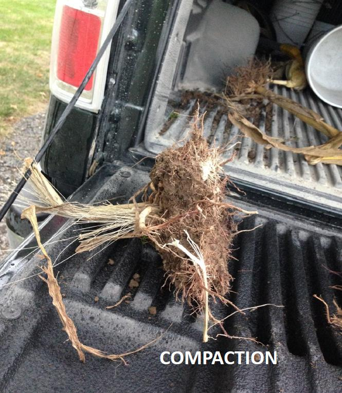 Damage to corn stalk due to soil compaction