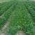 Agronomic image of pigweeds in soybean fields