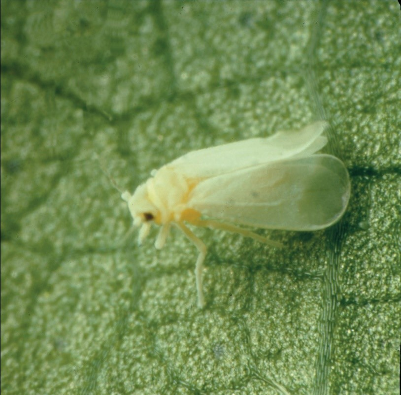 prevent disease by controlling whiteflies in melons and