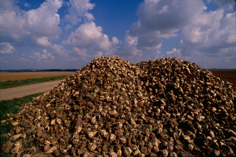 sugarbeet harvest pile