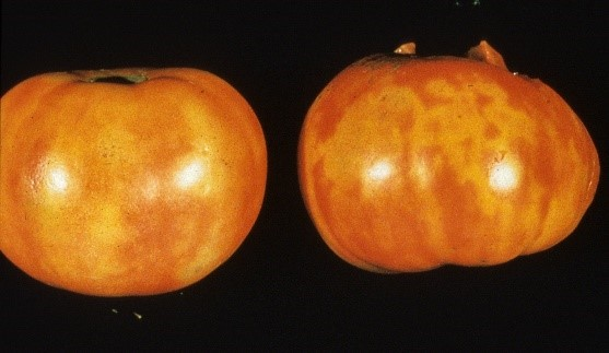 Agronomic image of tomato spot virus