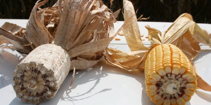 diplodia-untreated-vs-trivapro-application-corn-resized