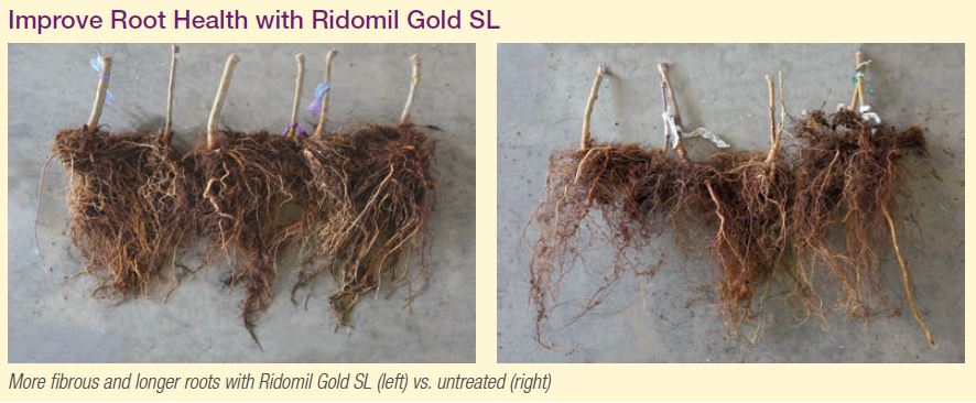 Agronomic image of almond roots