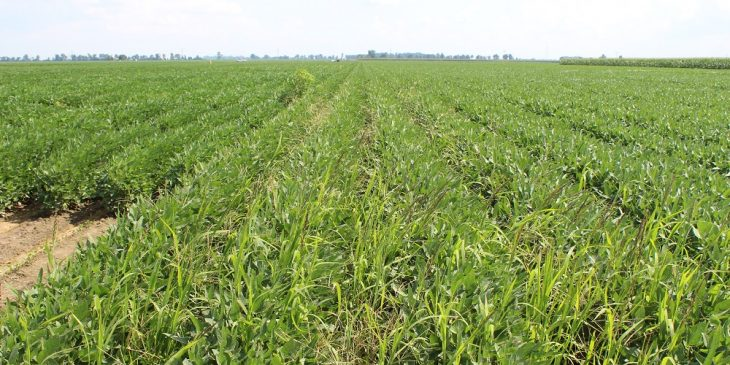 Agronomic image of herbicide resistant weeds in soybean fields