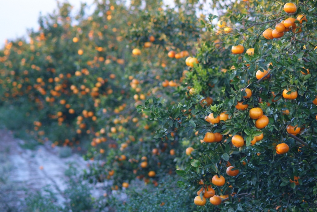 Agronomic image of citrus groves at harvest