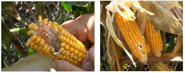 Agronomic image of corn and WBCW