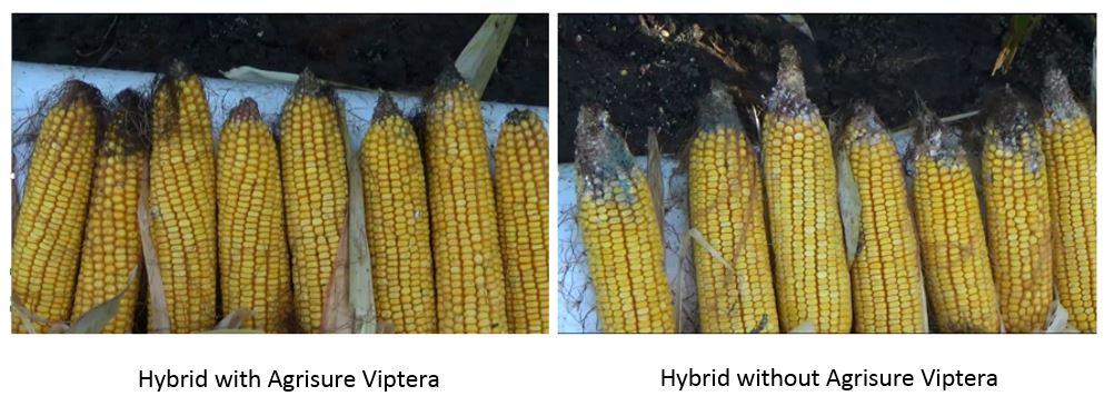 Agronomic image of Agrisure Viptera vs other corn hybrids