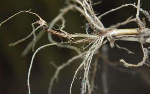 An agronomic photo showing common root rot.