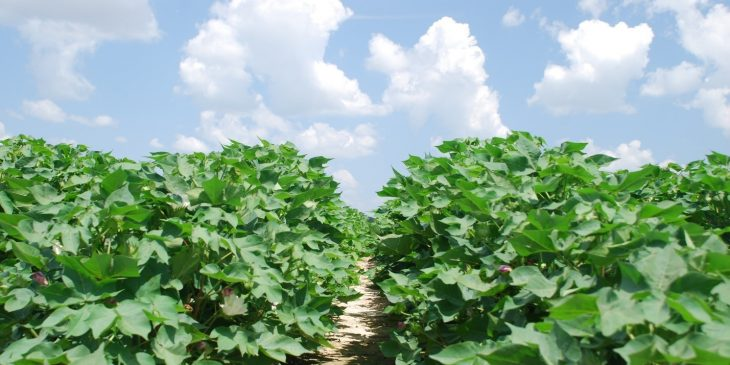 An agronomic image showing cotton.