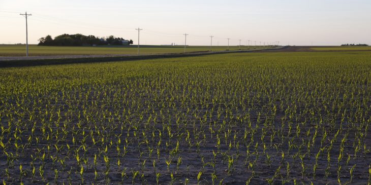 An agronomic image featuring early season corn.