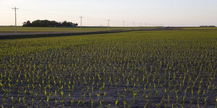 An agronomic image featuring early season corn.