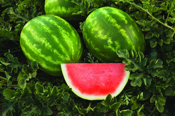 An agronomic image showing Captivation a Syngenta watermelon variety.