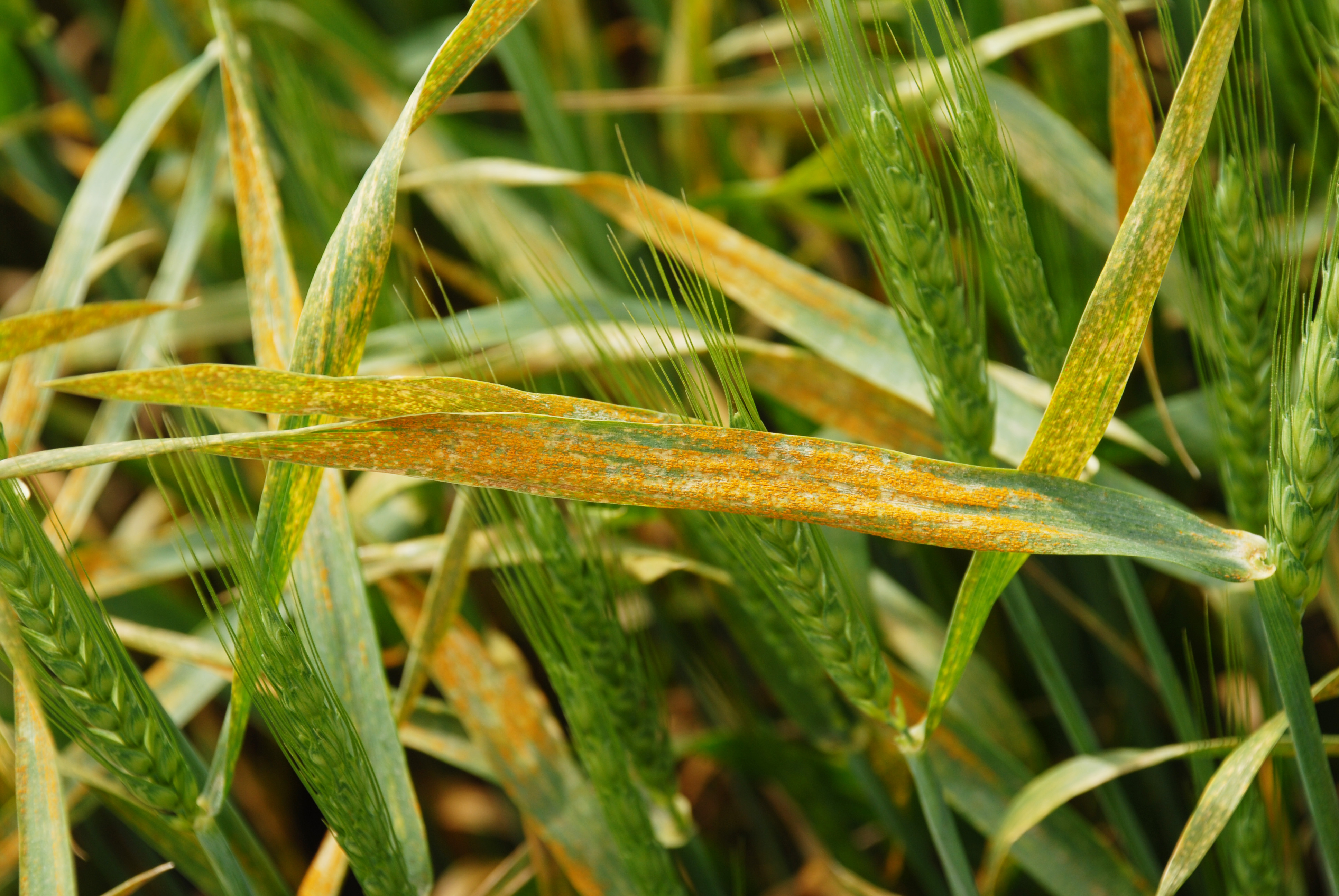 An agronomic photo showing wheat diseases.