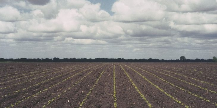 An agronomic photo showing sugarbeet seedlinegs.