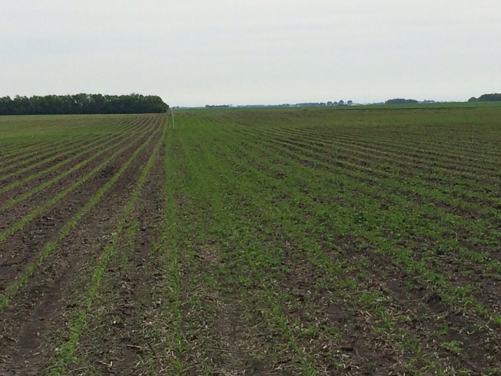An agronomic image showing a clean vs. giant ragweed-filled field.