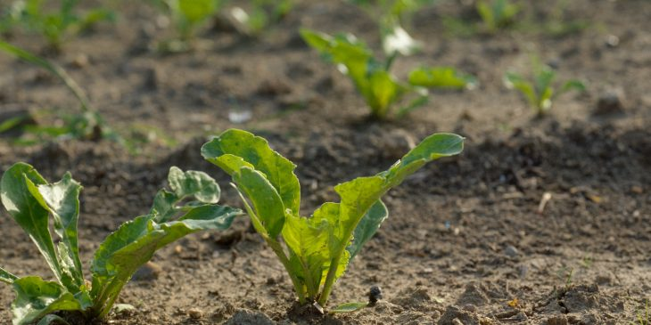 An agronomic image of a sugarbeet.