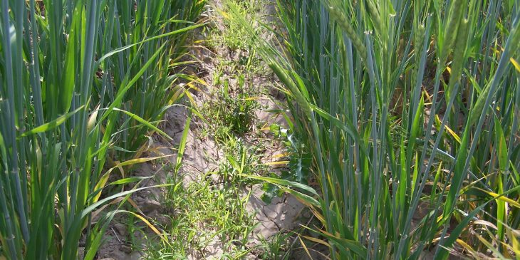 Foxtails - Weeds in Wheat Fields