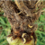 This agronomic photo shows corn rootworm.