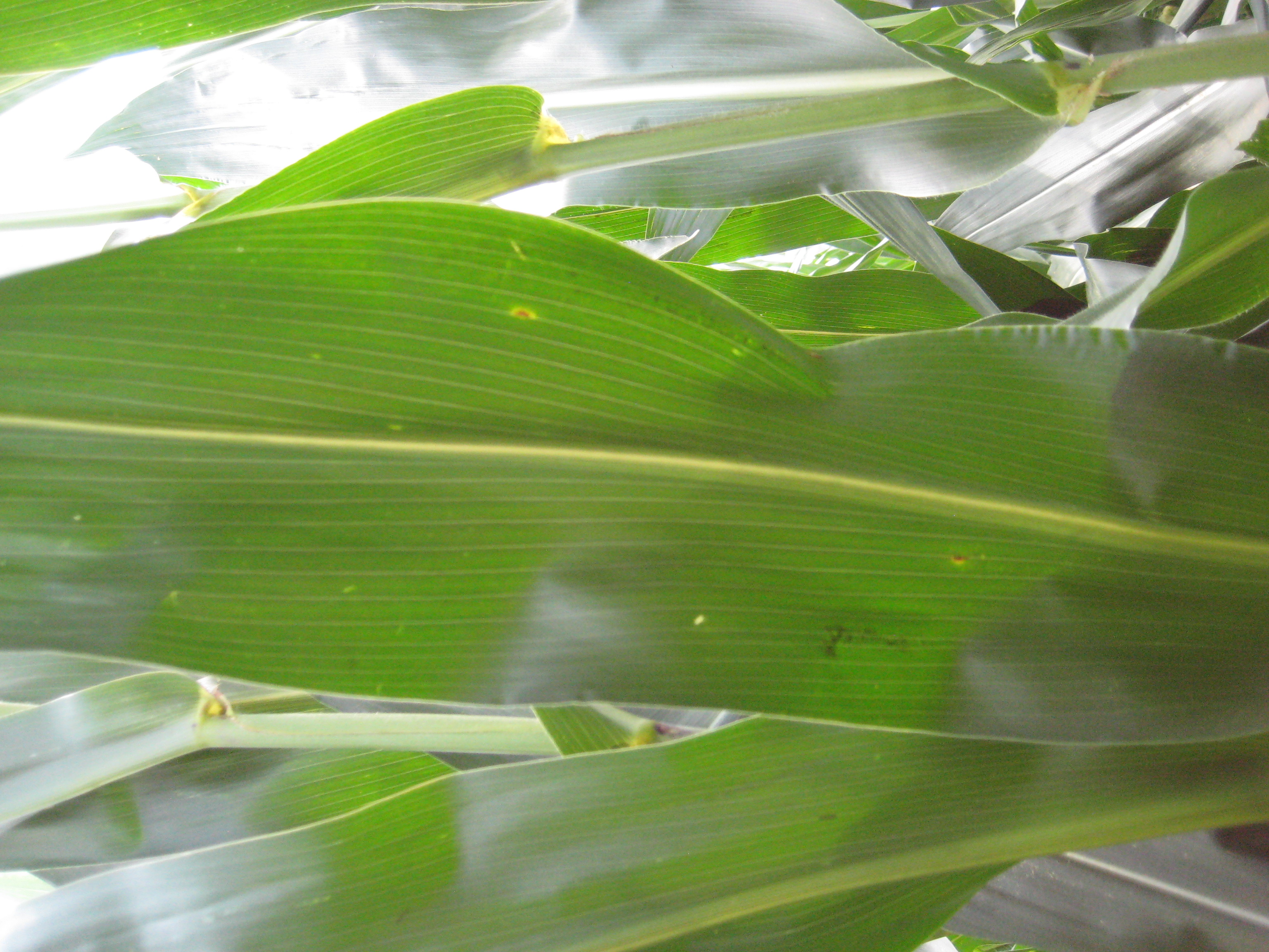 This agronomic photo shows corn infected by gray leaf spot.