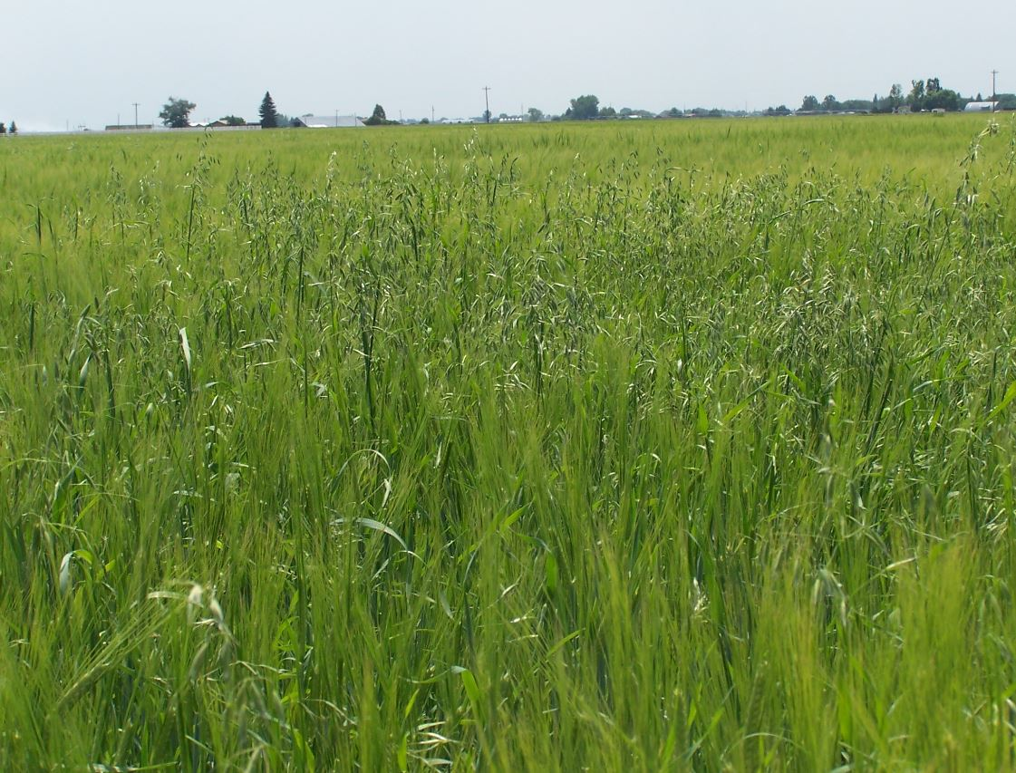 This agronomic photo shows the weed wild oats.