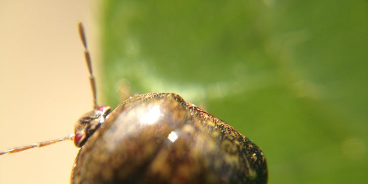 This agronomic image shows a kudzu bug.