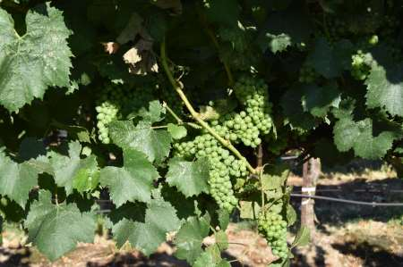 This agronomic photo shows chardonnay grapes after an application of a fungicide.