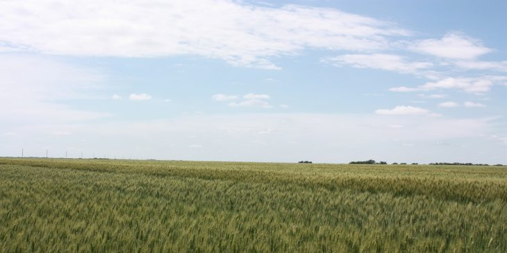 This agronomic image shows a field of AgriPro SY Grit, a hard red winter wheat variety.