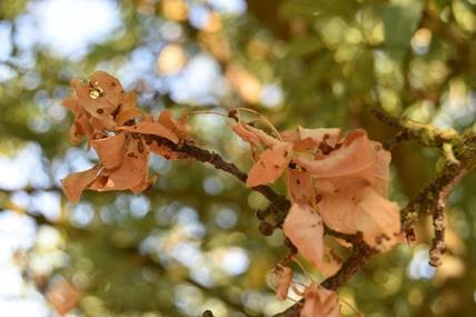 This agronomic image shows blossom blight in almonds.