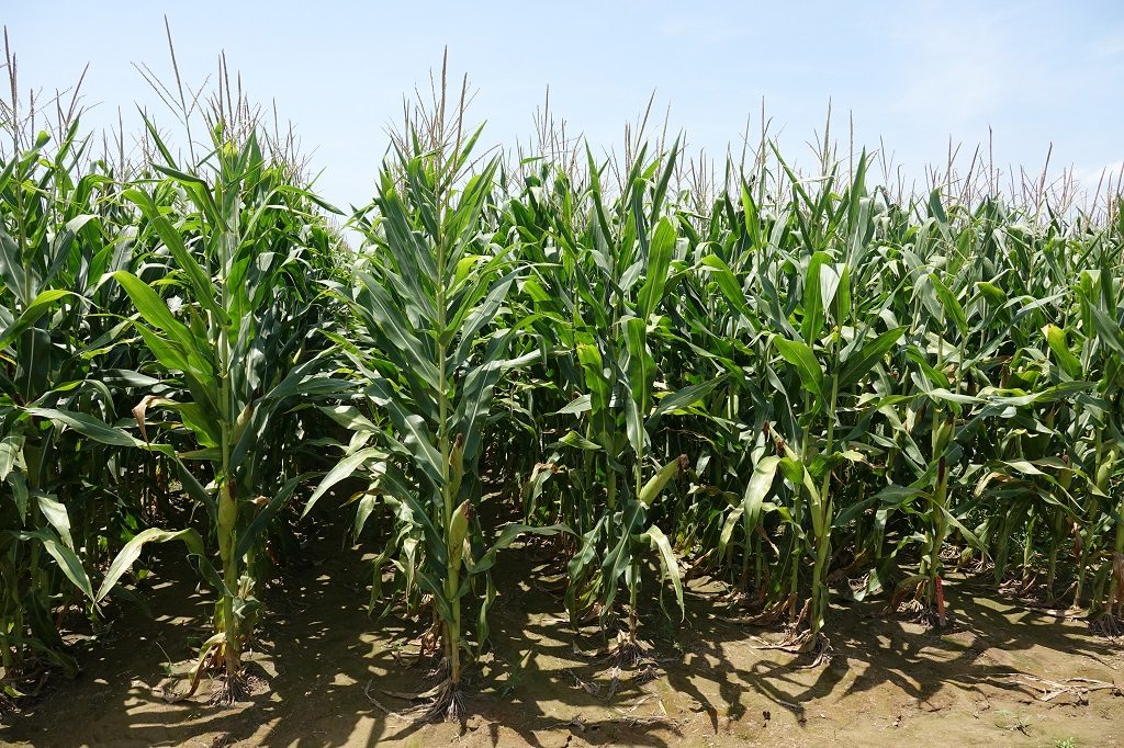 This agronomic photo shows a healthy corn field.
