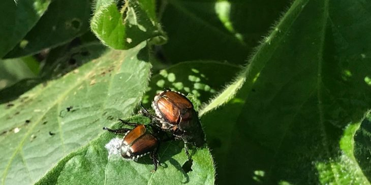 This agronomic image shows Japanese beetles.