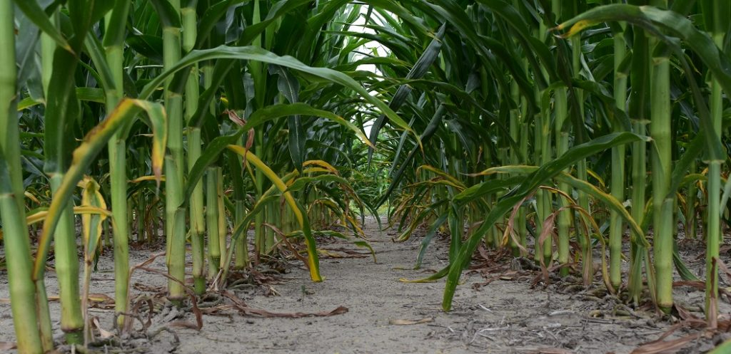 This agronomic photo shows clean corn rows after Acuron 3 qt/A and 1 lb/A atrazine application.
