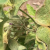 This agronomic image shows spider mite damage to soybean leaves.
