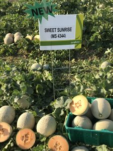 This agronomic image shows Sweet Sunrise, a new long-shelf-life melon from Syngenta.