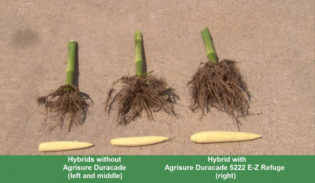 This agronomic image compares corn rootworm damage when Agrisure Duracade is used and when it's not.