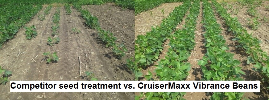 This agronomic image shows the comparison between competitor seed treatment and CruiserMaxx Vibrance Beans.
