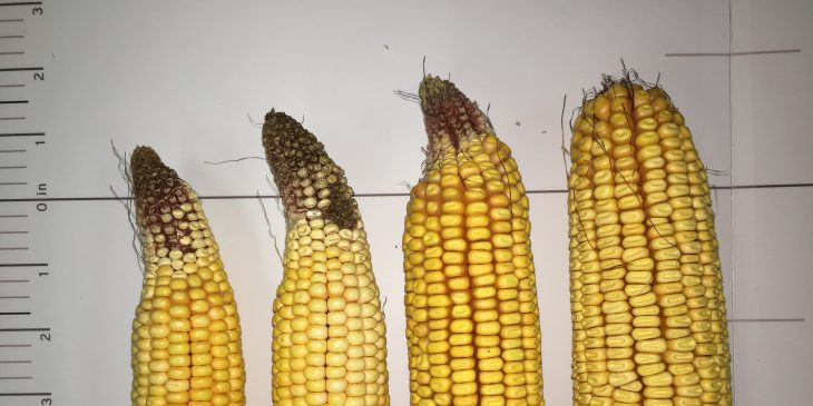 This agronomic image shows corn affected by corn ear tip back.