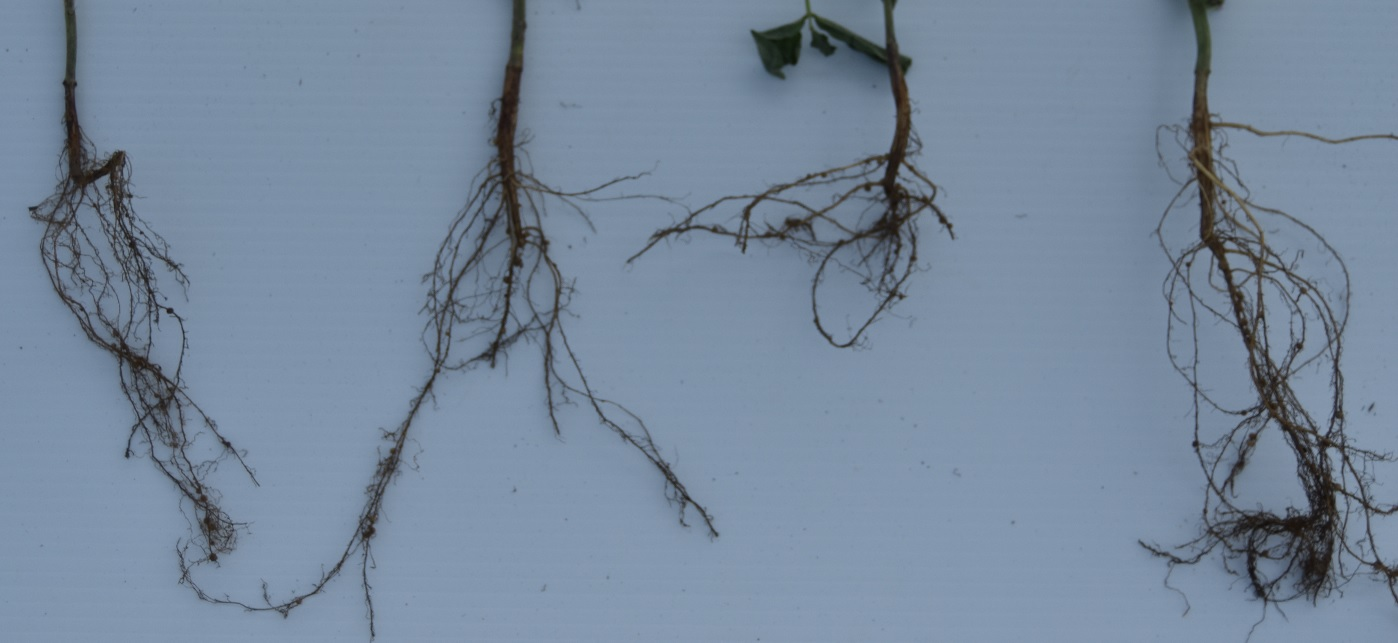 This agronomic image compares roots between CruiserMaxx Vibrance Beans and competitors.