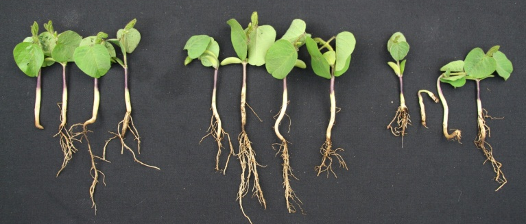 This agronomic image shows CruiserMaxx® Vibrance® Beans seed treatment compared to generic and branded competitor treatments.