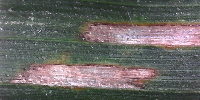 This agronomic image shows gray leaf spot along corn leaf.