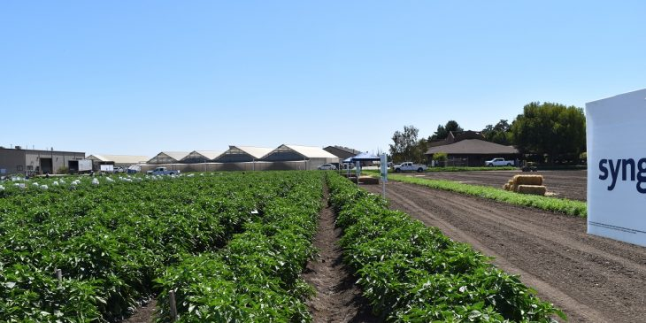 This agronomic image shows pepper crops.