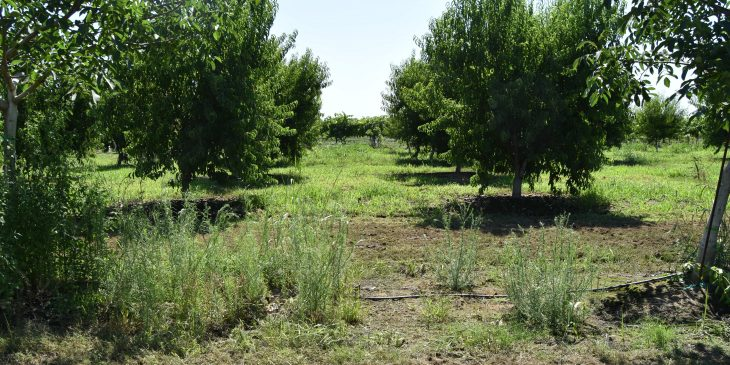 This agronomic image shows fall weed management in California orchards.