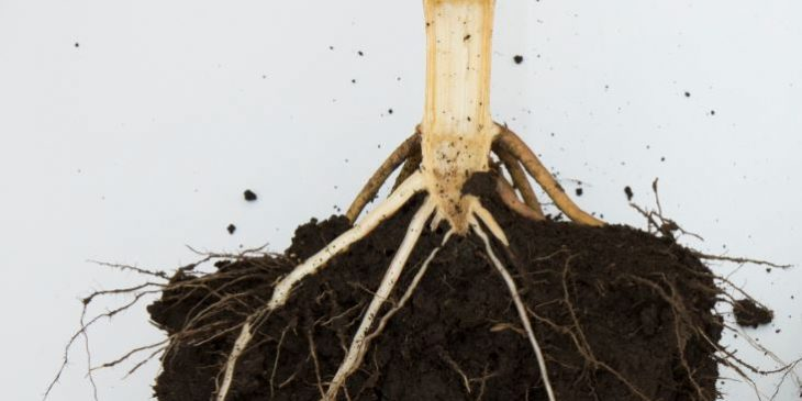 This agronomic image shows a modified root structure.